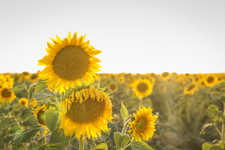 field of yellow sunflowers at sunset before being harvested
