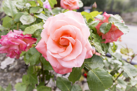 beautiful pink rose flower on a flowered rose