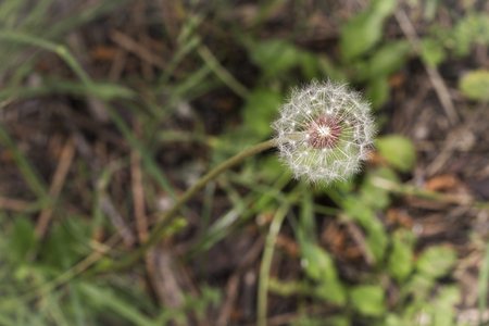 dandelion seeds waiting for the breeze of air on a green and brown background Stock Photo
