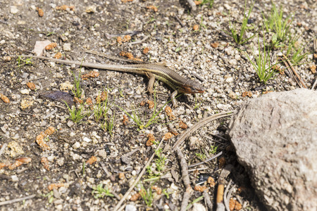 small lizard watching between the stones to be able to hunt