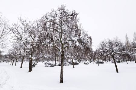 trees with snow in their cups in a lonely snowy park in a cold winter Stock Photo