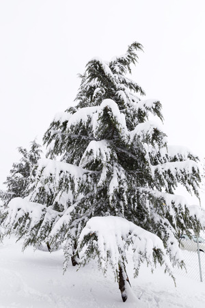 beautiful image of snowy fir on a cold winter day Stock Photo