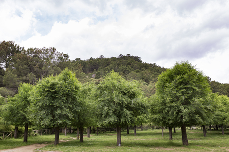 panoramic of a forest of green pine trees on the side of a mountain on a beautiful morning Stock Photo