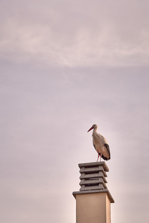 beautiful storks in a spring sunset on the chimney of a house Reklamní fotografie