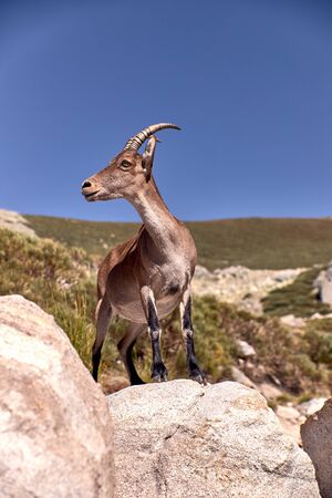 Alpine ibex or Capra pyrenaica on the summit of the mountain against blue sky in Sierra de Gredos mountain range. Avila, Spain