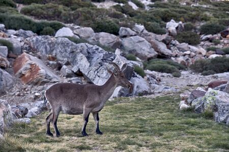 Alpine ibex or Capra pyrenaica on the summit of the mountain against stones in Sierra de Gredos mountain range. Avila, Spain Banco de Imagens