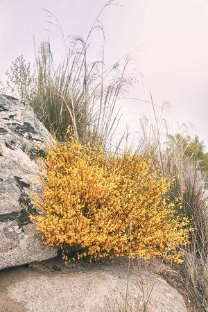 Cytisus oromediterraneus flowered shrub with yellow flowers. nature concept