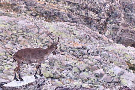 Alpine ibex or Capra pyrenaica on the summit of the mountain against stones in Sierra de Gredos mountain range. Avila, Spain Stock fotó