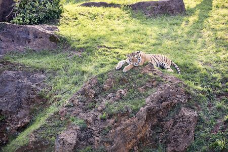 big adult tiger lying on the green grass - concept wild animals