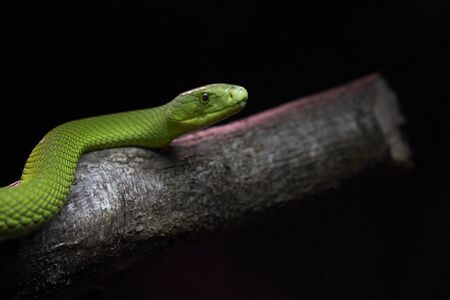 View of a dangerous green mamba snake on a trunk - concept of wild animals Фото со стока