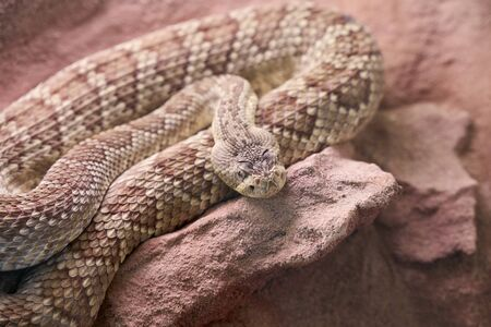 A brown snake rolled up on a stone - concept wild animals
