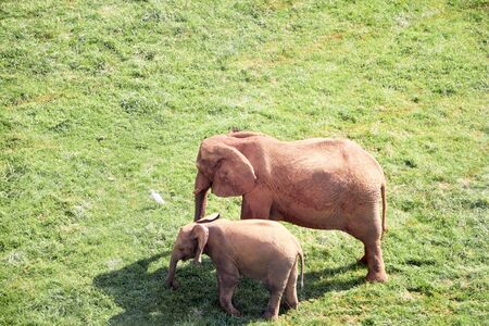 elephant calf with its mother in a green meadow. Wildlife concept 版權商用圖片