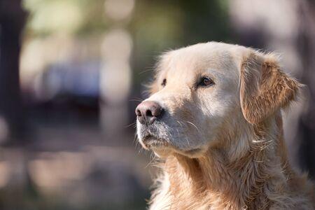 portrait of a beautiful golden retriever dog - concept pet