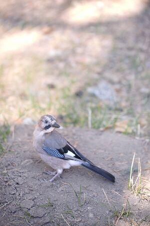 little jaybird looking for food - wildlife concept