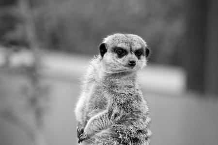 vigilant: Suricata observando atentamente el entorno Stock Photo