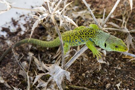 lizard in field: Lagarto sobre un cardo seco