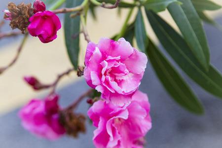 Beautiful Red Rose Close up. Macro Flower Background Photo Stock Photo
