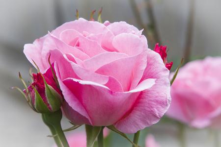 primer plano de petalos de rosa Stock Photo