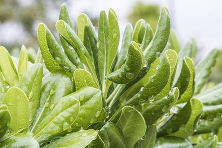 hojas: hojas verdes con gotas de agua