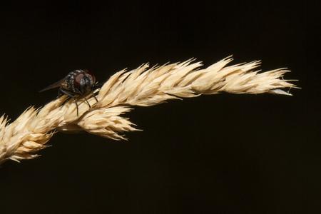 Female of Onthophagus parmatus Stock Photo