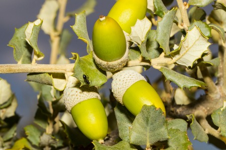 oaks seed Stock Photo