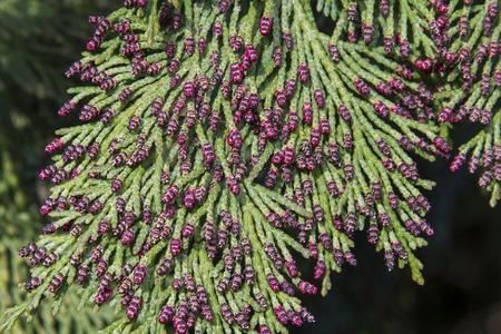 Green pine tree with needles and raindrops on cold rainy day. Stock Photo