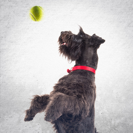 round collar: Small black dog with tennis ball