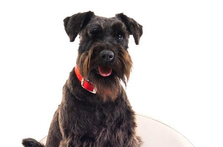 Small black dog on tiny armchair