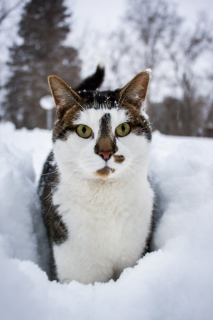 Cat On Snow Looking at the Camera photo