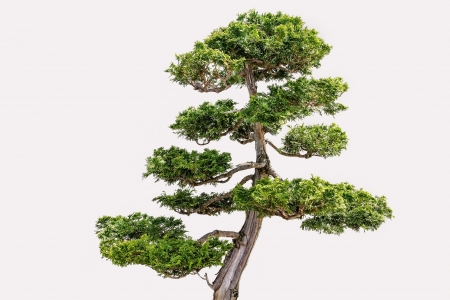 hinoki: Isolated Hikoni Cypress Bansai on White Background