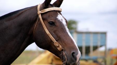 holsteine: Horse Stock Photo