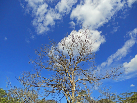 Tree without leaves and a blue sky with clouds
