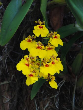 Detail of Yellow orchid flowers in the garden