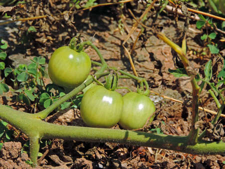 Small green tomatoes
