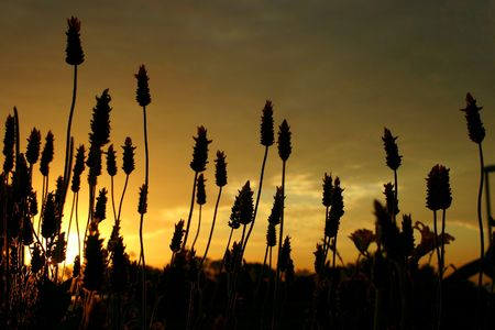 naturaleza: lavenders sunset