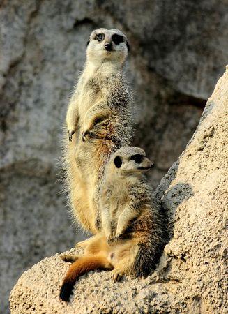 naturaleza: suricates