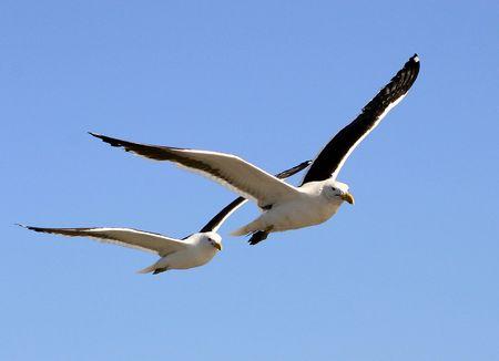 naturaleza: Kelp Gulls (Larus Dominicanus) Stock Photo