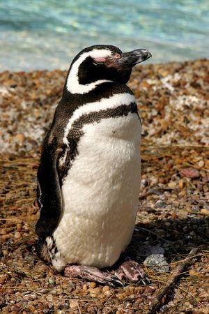 naturaleza: Magellanic Penguin (Spheniscus Magellanicus)