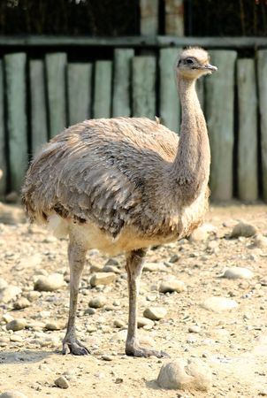 rhea: Greater Rhea (Rhea Americana) Stock Photo