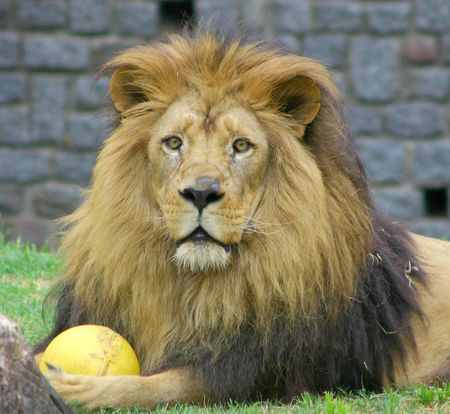 lion Reklamní fotografie