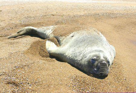naturaleza: Southern Elephant Seal (Mirounga Leonina) Stock Photo