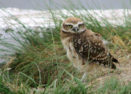 aves: burrowing owl (athene cunicularia)
