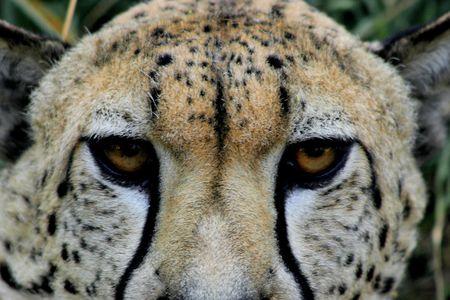 a cheetahs look