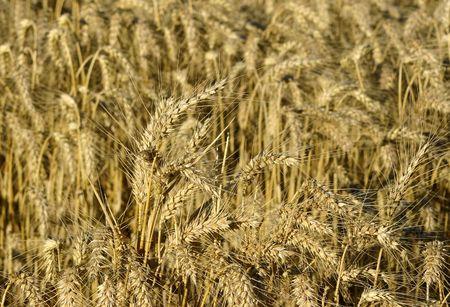wheat Banco de Imagens