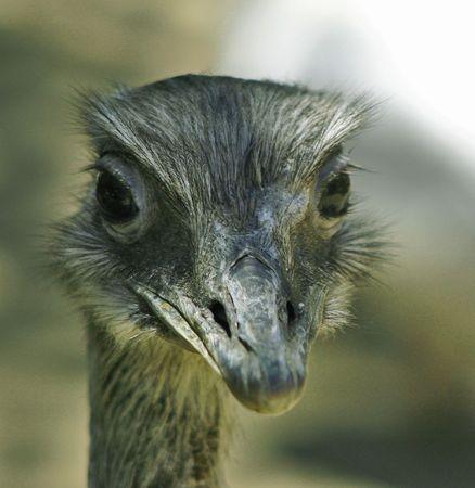greater: greater rhea (rhea americana)