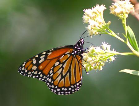 danaus: Monarch butterfly (Danaus Erippus Cramer)