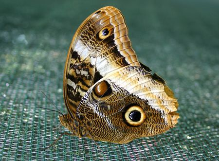magnificent: Magnificent Owl butterfly (Caligo Eurilochus Sulanus) Stock Photo
