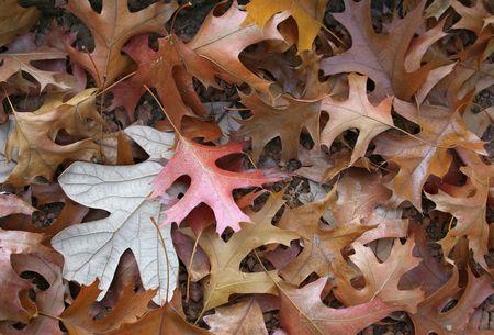hojas: fallen redish leaves
