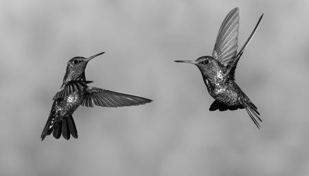 dancing hummingbirds Stock Photo