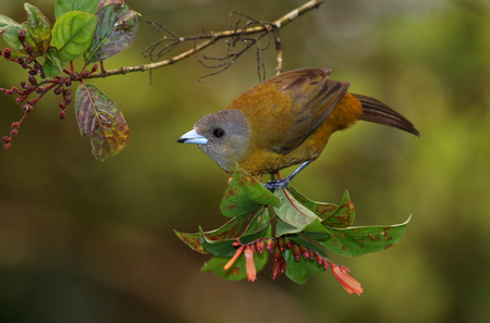 A female Passerinis tanager photographed in Costa Rica